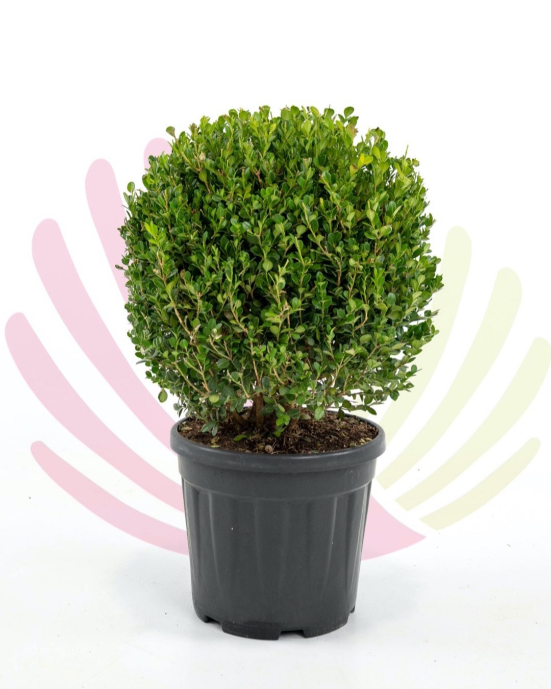 Buxus microphylla Faulkner (bola) 10L